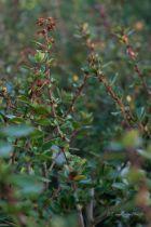 Escallonia \'Donard Radiance\', arbuste persistant vert à fleurs rose foncé en été.