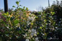 Escallonia \'Iveyi\', arbuste persistant à feuillage vert brillant et à floraison blanche en été.