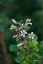 Escallonia illinata, arbuste persistant vert, à petites fleurs blanches en panicules l\'été.