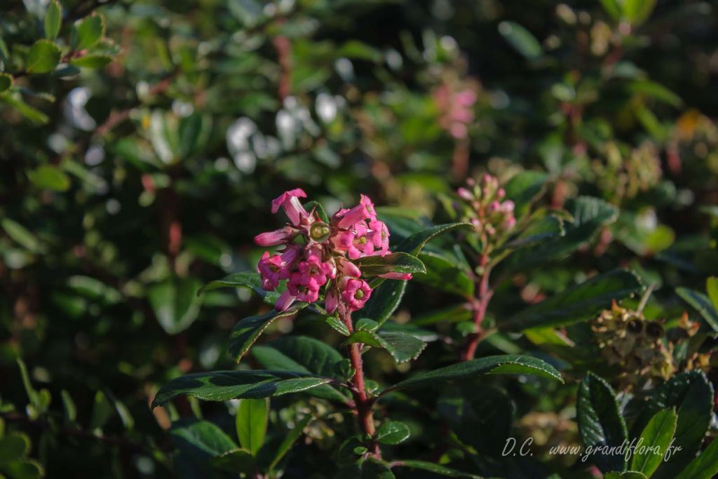 Escallonia organensis
