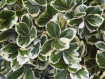 Euonymus japonicus \'Kathy\'
