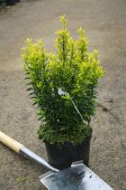 Euonymus japonicus \'Microphyllus aureovariegatus\'