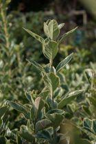 Euonymus japonicus \'President Gauthier\', arbuste persistant au feuillage panaché vert et blanc.
