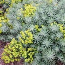 Euphorbia Copton Ash
