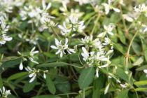 Euphorbia \'Diamond Frost\'