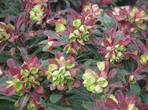 Euphorbia \'Efanthia\'