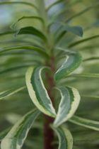 Euphorbia characias \' Burrow Silver \'