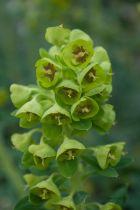 Euphorbia characias \'Humpty Dumpty \'