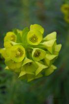 Euphorbia characias \'Purple and Gold \'