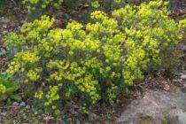 Euphorbia cyparissias Fens Ruby