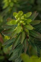 Euphorbia x martinii \' Baby Charm \'
