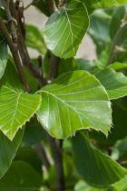 Fagus sylvatica \'Dawyck gold\' ou hêtre fastigié à feuillage vert clair et à petit développement