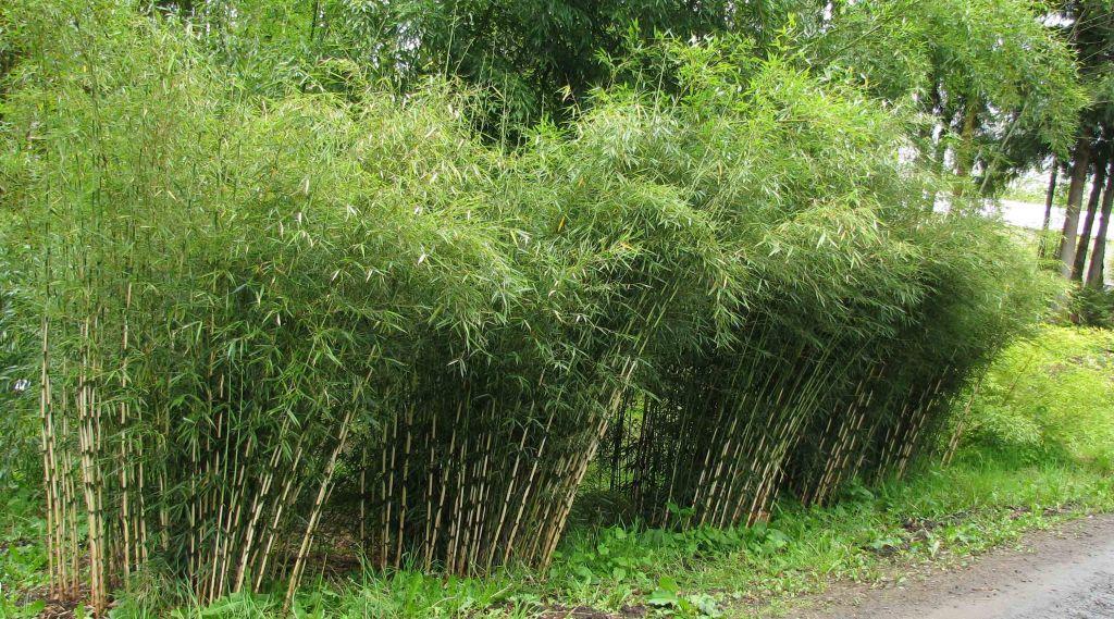Fargesia robusta 39 campbell 39 - Bambou non tracant a croissance rapide ...