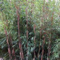 Bambou fargesia scabrida Asian Wonder