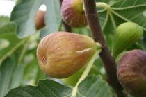 Figuier \'Goutte d\'Or\', arbre fruitier caduc aux grandes feuilles vertes et aux fruits jaune doré en été.