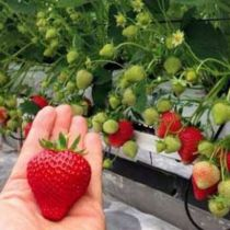 20_fraisiers_magnum_marionnet_97_r00210550663_1