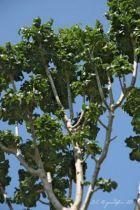 IMG_0249, arbre au feuillage caduc vert foncé.