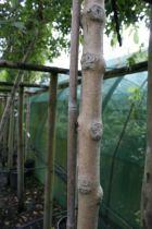 Fraxinus excelsior \'Pendula Aurea\'