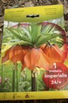 Fritillaria \'Imperialis rouge\'