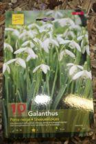 Galanthus \'Perce neige\'