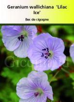 Géranium \' Lilac Ice \'