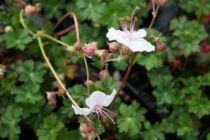 Geranium cantabrigiense \'Biokovo\'