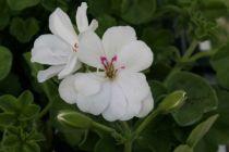 Géranium Lierre Double \'Doblino Blanc\'