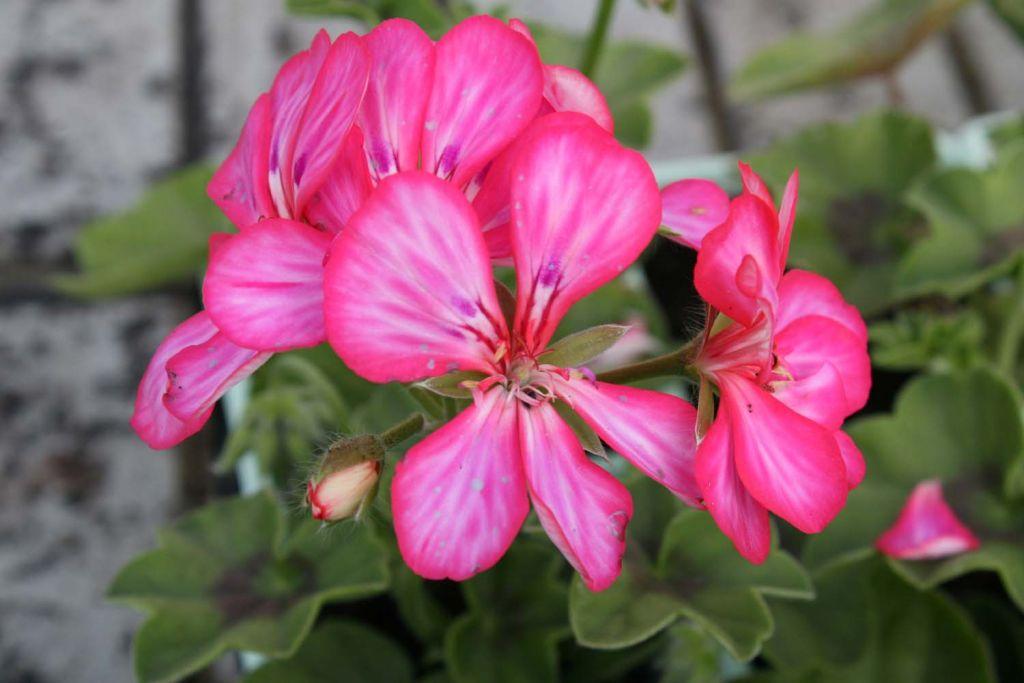 G ranium lierre double doblino framboise bicolore - Geranium lierre double retombant ...