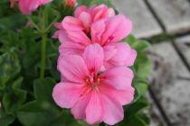 P tunia retombant pink mini ou surfinia - Geranium lierre double ...