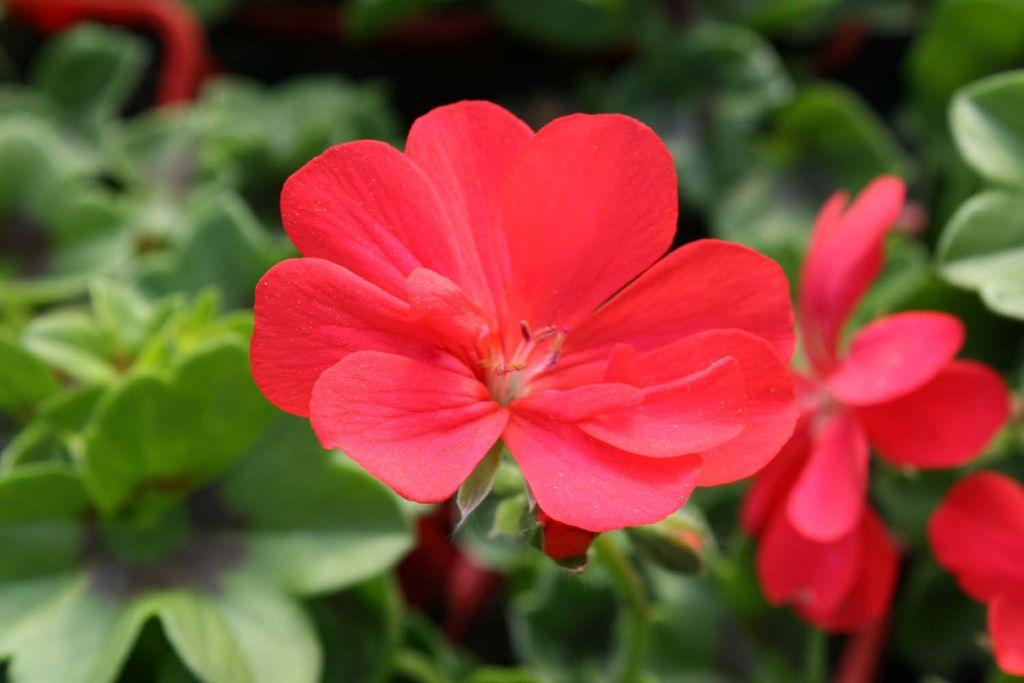 G ranium lierre double doblino rouge - Geranium lierre double retombant ...