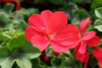 Géranium Lierre Double \'Doblino rouge\'