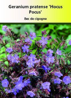 Géranium pratense \' Hocus Pocus \'