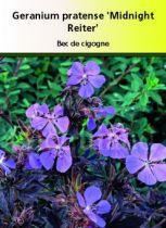 Géranium pratense \' Midnight Reiter \'