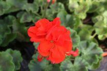 Geranium zonal \'Dijon\'