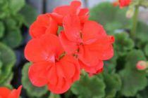 Geranium zonal \'Orange\'