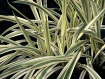 Glyceria maxima \'Variegata\'