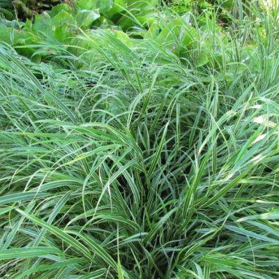 Hakonechloa macra grandiflora for Soldes plantes vivaces