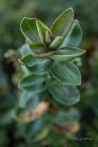 Hebe \'Autumn glory\', arbuste persistant à feuillage vert et floraison bleu violacé en été.