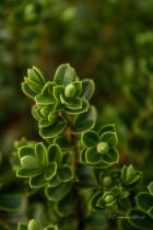 Hebe subalpina, petit arbuste à feuillage vert et à port compact, floraison blanche en épis en juin juillet.