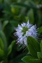 Hebe x \'Wiri image\', arbuste de jardin à floraison bleu mauve clair en épis l\'été et feuillage vert persistant.