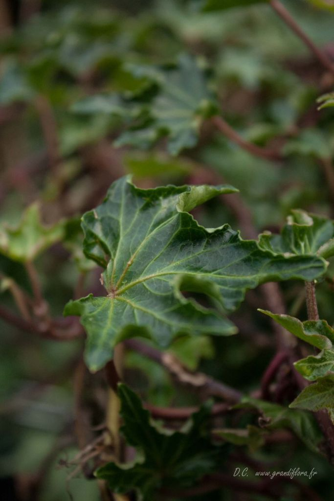 Hedera* helix \'Ivalace\'