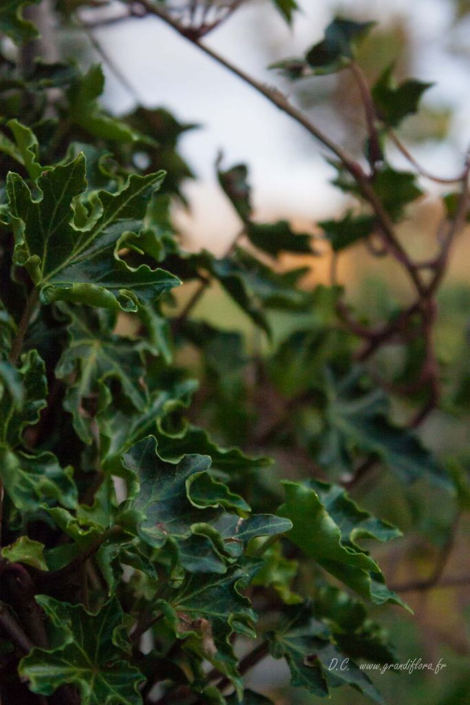 Hedera helix \'Ivalace\'