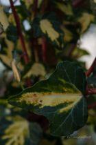 Hedera helix \'Oro di Bogliasco\' ou lierre panaché. Plante grimpante à feuillage panaché jaune