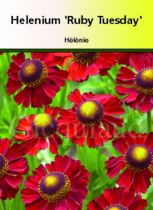 Helenium \' Ruby Tuesday \'