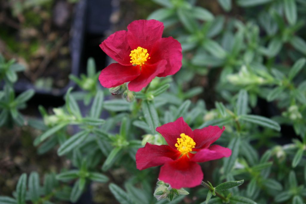 Helianthemum hartswood ruby grandiflora for Soldes plantes vivaces