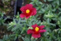 Helianthemum \'Hartswood Ruby\'