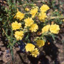 Helianthemum hybride \'Golden Queen\'