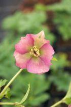 Hellebore purpurascens, vivace caduque au feuillage vert et à la floraison d\'hiver vert pourpré.