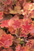 Heuchera \' Delta Dawn \'