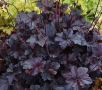 Heuchera \'Black Sea\'
